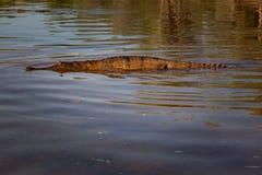 漂浮表面, Geikie峡谷, Fitzroy上的淡水鳄鱼 库存照片