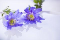 漂浮轻水表面上的两朵花 免版税库存图片