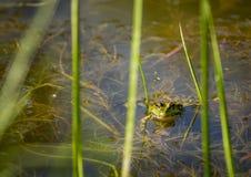 漂浮水表面上的青蛙 图库摄影