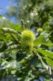 漂白亚麻纤维的栗属,在多刺的cupules掩藏的欧洲栗木,鲜美褐色胡说的marron结果实,分支与叶子 图库摄影