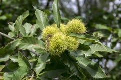 漂白亚麻纤维的栗属,在多刺的cupules掩藏的欧洲栗木,鲜美褐色胡说的marron结果实,分支与叶子 免版税库存图片