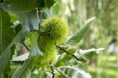 漂白亚麻纤维的栗属,在多刺的cupules掩藏的欧洲栗木,鲜美褐色胡说的marron结果实,分支与叶子 库存图片