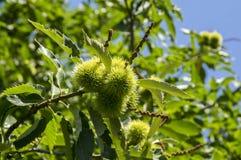 漂白亚麻纤维的栗属,在多刺的cupules掩藏的欧洲栗木,鲜美褐色胡说的marron结果实 图库摄影