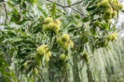 漂白亚麻纤维的栗属,在多刺的cupules掩藏的欧洲栗木,鲜美褐色胡说的marron结果实 库存图片