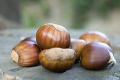 漂白亚麻纤维的栗属,欧洲栗木褐紫红色果子 免版税库存图片