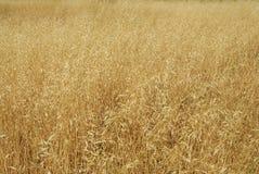 漂白亚麻纤维的燕麦属,变态反应原厂 免版税库存照片