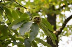 漂白亚麻纤维被打开的栗属,在多刺的cupules掩藏的欧洲栗木,鲜美褐色胡说的marron结果实 库存图片