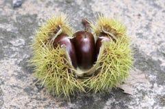 漂白亚麻纤维被打开的栗属,在多刺的cupules掩藏的欧洲栗木,鲜美褐色胡说的marron结果实 免版税库存照片