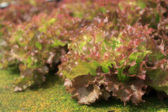 漂白亚麻纤维的山莴苣属 免版税库存照片