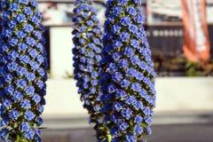 漂白挫伤,echium candicans是从马德拉海岛的一个装饰庭园花木 库存图片