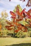 漆树typhina Staghorn sumac,漆树科的秋叶 图库摄影