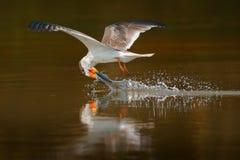 漏杓饮料水 黑漏杓飞行,在河,内格罗河,潘塔纳尔湿地,巴西 与开放翼的漏杓饮用水 野生生物sc 图库摄影