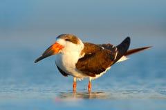 黑漏杓, Rynchops尼日尔,美丽的燕鸥在水中 在佛罗里达海岸的黑漏杓,美国 在自然海habita的鸟 图库摄影
