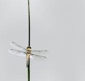 漏杓蜻蜓 免版税库存图片