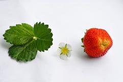 演变草莓 免版税库存图片