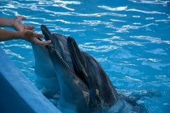 演奏与海豚的人 免版税库存照片