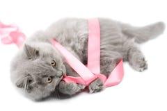演奏丝带的英国查出的小猫 免版税库存照片