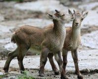 演奏二个年轻人的高地山羊 库存照片