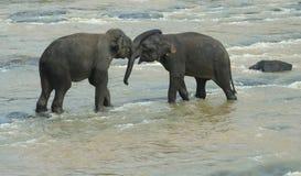 演奏二的大象 免版税图库摄影