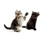 演奏二的小猫 免版税库存照片