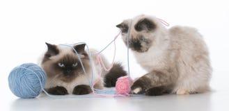 演奏二的小猫 免版税图库摄影