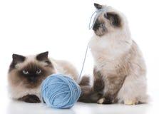 演奏二的小猫 免版税库存图片
