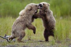 演奏二的熊棕色崽 免版税库存照片