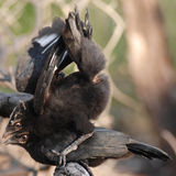 演奏二的鸟黑色 免版税库存照片