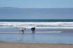 演奏取指令的两条狗在海滩 免版税库存照片