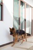 演奏叮咬红色玩具的德国shepperd狗画象  库存照片