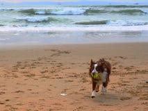 演奏在海滩的狗取指令 免版税库存图片