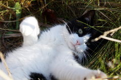 演奏在草的猫 免版税图库摄影