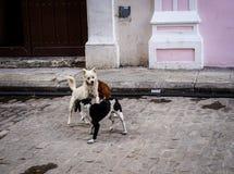 演奏在街道的狗 库存图片