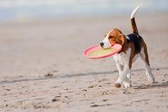 演奏小狗的小猎犬 免版税图库摄影