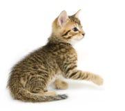 演奏平纹的小猫 库存图片