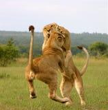 演奏年轻人的狮子 免版税库存照片