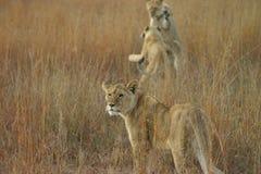 演奏年轻人的狮子 库存照片