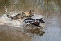 演奏标签二的狗 库存照片