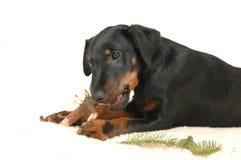 演奏棍子的小狗 免版税库存图片