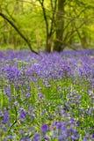 演奏森林的会开蓝色钟形花的草男孩 库存照片