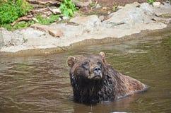 演奏水的熊grizzley 图库摄影