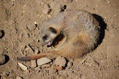 演奏海岛猫鼬类suricatta的meerkat 免版税库存图片