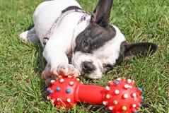 演奏狗玩具的法国牛头犬小狗 免版税图库摄影