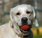 演奏猎犬的金子 免版税库存照片