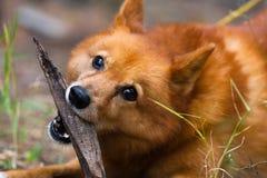 演奏猎犬 免版税库存图片