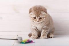 演奏猫的一只嬉戏的苏格兰小猫玩具 库存图片