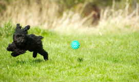演奏球的玩具狮子狗小狗。 库存图片