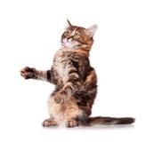 演奏白色的查出的小猫 免版税图库摄影
