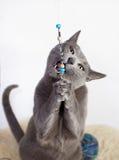 演奏纵向俄语的蓝色猫 免版税图库摄影