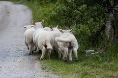 演奏羊羔 免版税库存照片